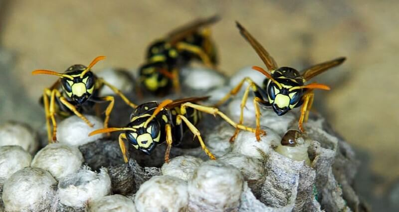 wasp control & nest removal services in Cape Coral